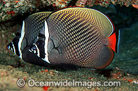 Red-tailed Butterflyfish Chaetodon collare Photo - David Fleetham