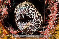 Honeycomb Moray Eel being cleaned Photo - David Fleetham