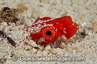 Crocodile Snake Eel Brachysomophis crocodilinus photo