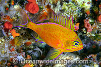Deepwater Anthias photo