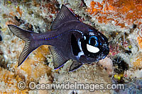 One-fin Flashlight Fish Photoblepharon palpebratus image