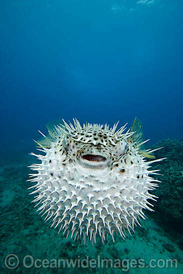 Black-spotted Porcupinefish (Diodon hystrix), inflated in defence against predators. Found in tropical seas throughout the world, ranging into sub-tropical zones. Photo taken off Hawaii, Pacific Ocean
