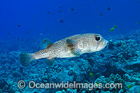 Black-spotted Porcupinefish (Diodon hystrix). Found in tropical seas throughout the world, ranging into sub-tropical zones. Photo taken off Hawaii, Pacific Ocean Photo: David Fleetham
