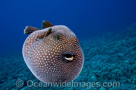 Guineafowl Pufferfish (Arothron meleagris), inflated in defence against predators. Photo taken off Hawaii, Pacific Ocean. Photo - David Fleetham