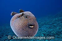 Guineafowl Pufferfish Arothron meleagris Photo - David Fleetham