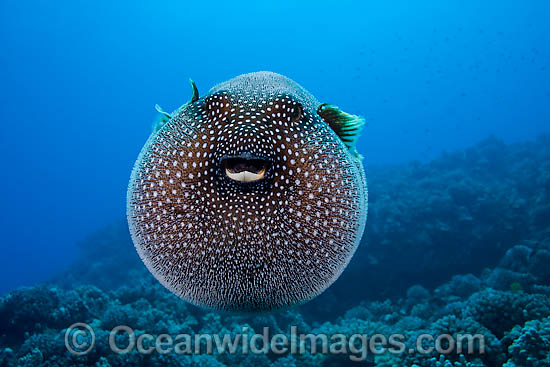 Guineafowl Pufferfish (Arothron meleagris), inflated in defence against predators. Photo taken off Hawaii, Pacific Ocean.