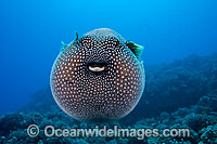 Guineafowl Pufferfish Photo - David Fleetham
