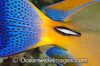Eyestripe Surgeonfish scalpel Photo - David Fleetham