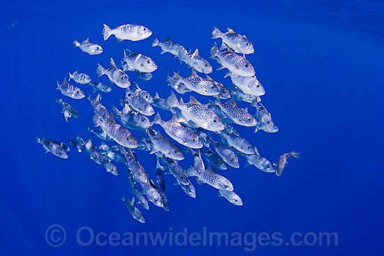 Spotted Oceanic Triggerfish photo