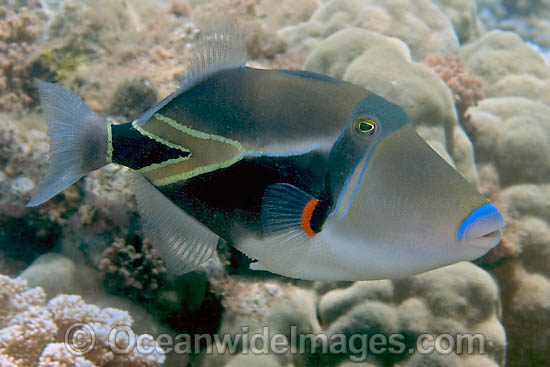 Picasso Triggerfish (Rhinecanthus rectangulus). This fish was voted Hawaii's state fish in 1984. Photo taken off Hawaii, Pacific Ocean Photo - David Fleetham