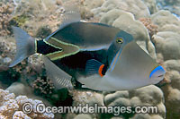 Picasso Triggerfish Photo - David Fleetham