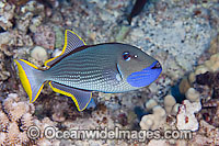 Gilded Triggerfish Xanthichthys auromarginatus Photo - David Fleetham