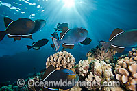 Schooling Black Triggerfish