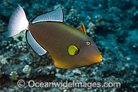 Pinktail Triggerfish Melichthys vidua Photo - David Fleetham