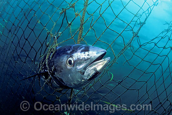 Southern Bluefin Tuna (Thunnus maccoyii), caught in the netting of a fish net holding pen, at a fish farm off Port Lincoln, South Australia. Photo - David Fleetham