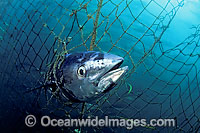 Southern Bluefin Tuna caught in net Photo - David Fleetham