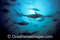 Southern Bluefin Tuna Photo - David Fleetham