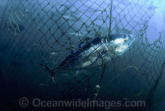 Southern Bluefin Tuna caught in net photo