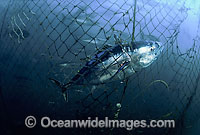 Southern Bluefin Tuna caught in net