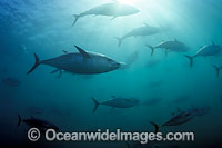 Southern Bluefin Tuna in holding pen