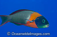 Saddle Wrasse Thalassoma duperrey Photo - David Fleetham