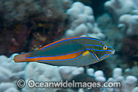 Belted Wrasse Stethojulis balteata Photo - David Fleetham