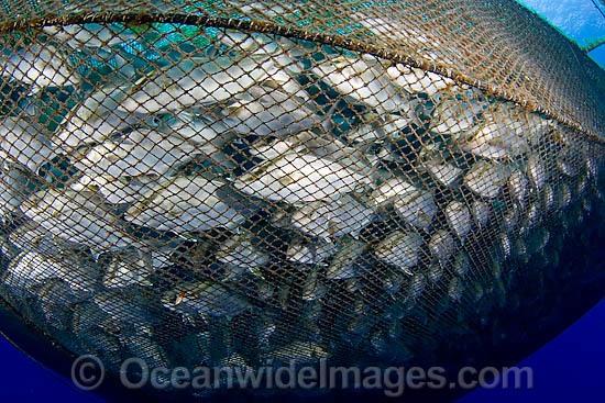 Almaco jack seriola rivoliana stock photo for Big fishing net