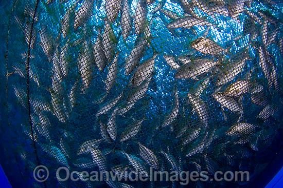 Almaco jack in net fish pen stock photo for Fish nets near me