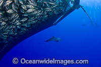 Diver and Dolphin in fish farm Photo - David Fleetham