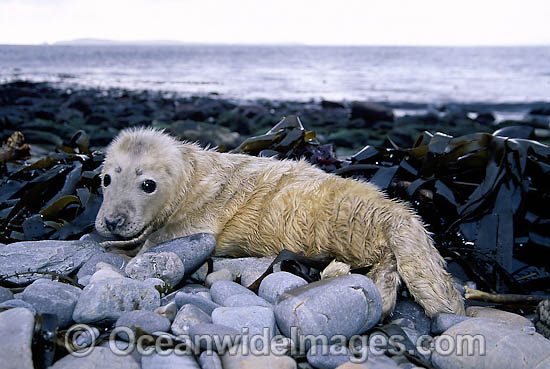 Grey Seal (Halichoerus grypus), pup. Also known as Atlantic Grey Seal and Horsehead Seal. Found in North Atlantic Ocean. Photo taken off the Orkney Islands, Scotland.