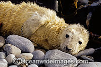 Grey Seal pup Photo - David Fleetham