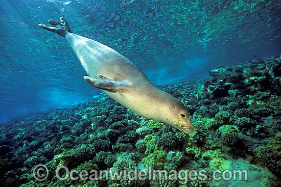 Hawaiian Monk Seal (Monachus schauinslandi). This species is endemic to the Hawaiian Islands, Pacific Ocean, and listed on the IUCN Red List as Critically Endangered.