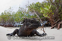 Marine Iguana Amblyrhynchus cristatus Photo - David Fleetham