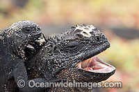 Marine Iguana on adult back Photo - David Fleetham