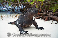Marine Iguana emerging from sea Photo - David Fleetham