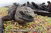 Marine Iguana and colony Photo - David Fleetham