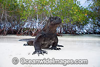 Marine Iguana emerging onto beach Photo - David Fleetham