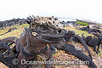 Marine Iguana Photo - David Fleetham