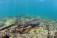 Marine Iguana swimming underwater Photo - David Fleetham