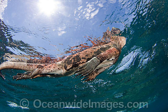 Marine Iguana (Amblyrhynchus cristatus), taking a breath of air at the surface whilst swimming underwater. This marine reptile is endemic to the Galapagos Islands, Equador, where this picture was taken. Photo - David Fleetham