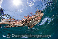 Marine Iguana breathing at surface Photo - David Fleetham