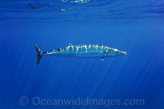 Wahoo (Acanthocybium solandri). A highly prized gamefish. Also known as Mackerel and Ono, this fish has been recorded at over 2 metres in length and 80 kg. Found in tropical and sub-tropical seas worldwide. Photo taken off Hawaii, USA