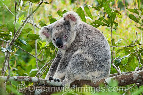 Koala (Phascolarctos cinereus), resting in a tree. South-east Queensland, Australia Photo - Gary Bell