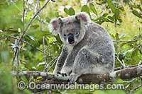 Koala in a tree Photo - Gary Bell