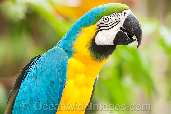 Blue-and-yellow Macaw (Ara ararauna). Also known as Blue-and-gold Macaw. Found in rainforests and woodlands of tropical South America, extending into Central America. Photo - Gary Bell