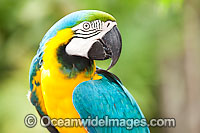 Blue-and-yellow Macaw Ara ararauna Photo - Gary Bell