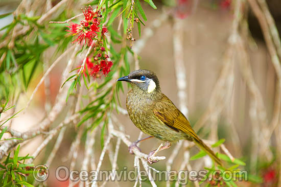 Lewin's Honeyeater (Meliphaga lewinii) - feeding on callistemon flower nectar. Found in rainforest, wet eucalypt forests, woodlands and heaths of far Eastern Australia. Lamington National Park, Queensland, Australia. Photo - Gary Bell