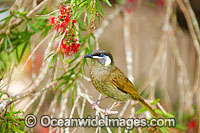 Lewin's Honeyeater feeding Photo - Gary Bell