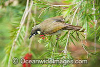 Lewin's Honeyeater feeding
