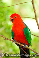 Australian King Parrot male Photo - Gary Bell